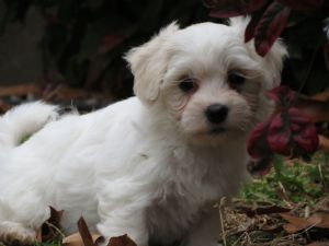 Coton De TulearFor Sale for sale
