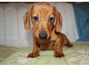 DachshundFor Sale for sale