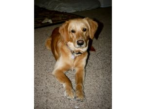 Golden RetrieverFor Sale stud