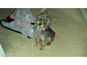 Yorkshire Terrier stud