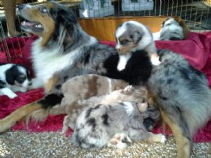 Australian ShepherdsFor Sale for sale