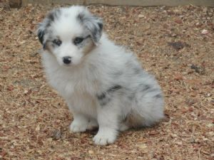 Australian Shepherds for sale