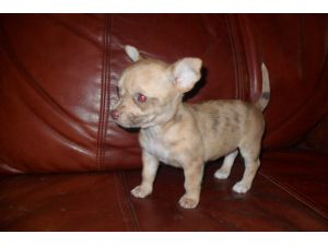 ChihuahuaFor Sale for sale