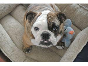 BulldogFor Sale stud