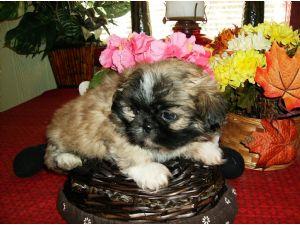 PekingeseFor Sale for sale