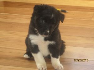 Border CollieFor Sale for sale