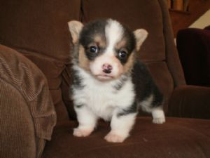 Pembroke Welsh Corgi for sale