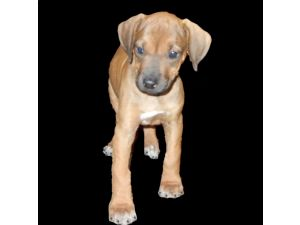 Rhodesian RidgebackFor Sale for sale