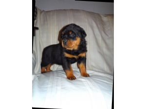 RottweilerFor Sale for sale