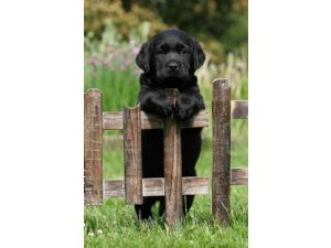 Labrador RetrieverFor Sale for sale