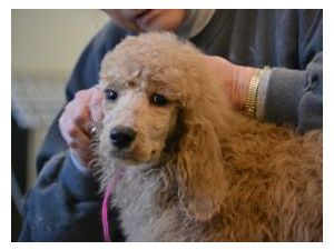 Standard PoodleFor Sale for sale