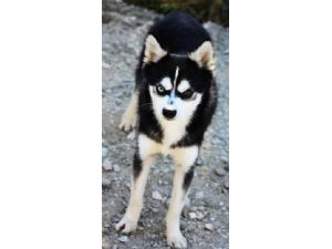 Alaskan Klee KaiFor Sale for sale