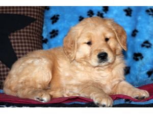 Yellow Lab Dogs For Sale In Nj