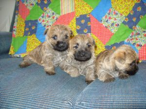 Cairn TerrierFor Sale for sale