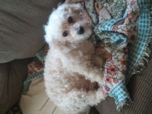 Toy PoodleFor Sale stud