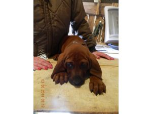 Redbone CoonhoundFor Sale for sale