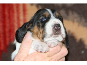 Basset HoundFor Sale for sale