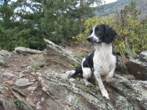 English Springer SpanielFor Sale stud