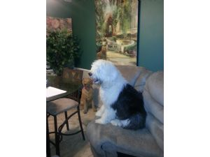 Old English SheepdogFor Sale stud