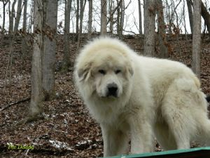 Great PyreneesFor Sale for sale