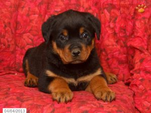 Rottweiler