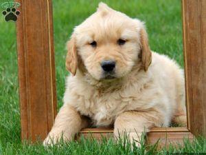 Golden retriever pups for sale louisiana