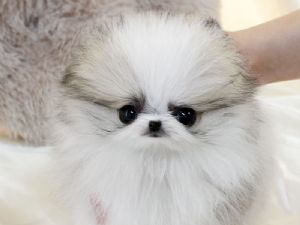 Pomeranian