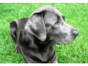 Labrador RetrieverFor Sale breeder directory