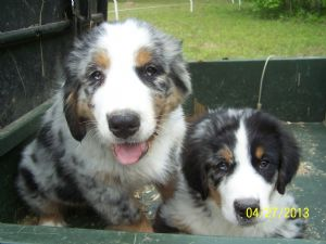 Australian Shepherds