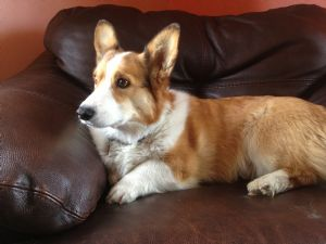 Pembroke Welsh CorgiFor Sale for sale
