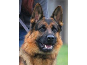 German Shepherd DogFor Sale for sale