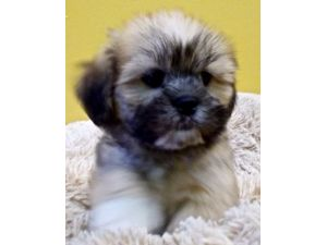 Lhasa ApsoFor Sale for sale