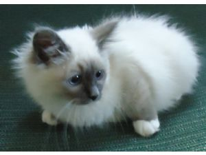 BirmanFor Sale for sale