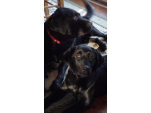 Labrador RetrieverFor Sale stud