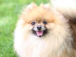 PomeranianFor Sale stud