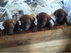 Redbone CoonhoundFor Sale for sale