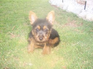 Australian TerrierFor Sale for sale