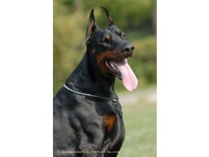 Doberman Pinscher Puppies For Sale Pure European Doberman Puppies