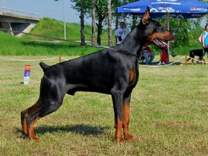 European Doberman Puppies For Sale In Texas
