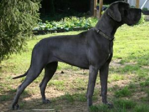 Great Dane Puppies For Sale: 100% Blue Euro Danes Champion Lines