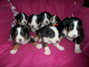 Greater Swiss Mountain DogFor Sale for sale