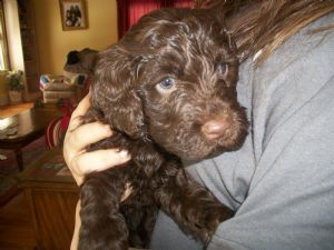 Portuguese water dog puppies for sale pwd puppies for sale