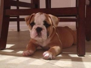 BulldogFor Sale for sale