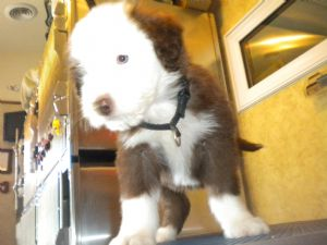 Bearded CollieFor Sale for sale
