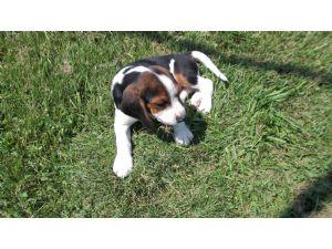 BeagleFor Sale for sale