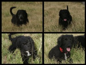 border collie puppies for sale bordoodle puppies border