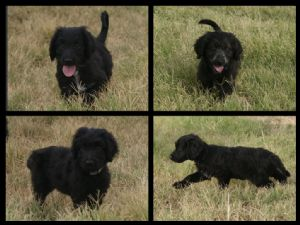 Border Collie Puppies For Sale: BorDoodle Puppies (Border