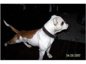 American BulldogFor Sale for sale
