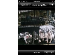 American Pit Bull TerrierFor Sale for sale