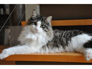 Norwegian Forest CatFor Sale for sale